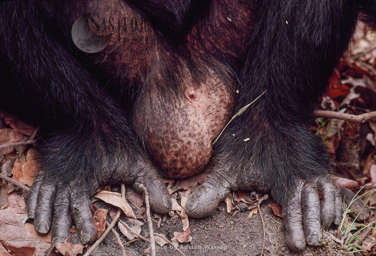 Chimpanzee (Pan Troglodytes), Freud- Alpha Male 23 Yrs, Gombe, Tanzania