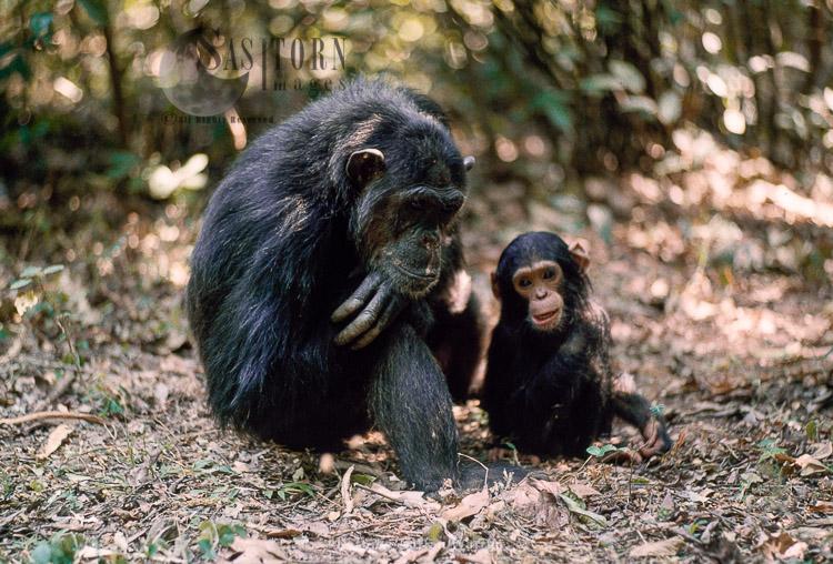 Chimpanzee (Pan Troglodytes), Fifi- And 1 Year Old -Ferdinand-, Gombe, Tanzania