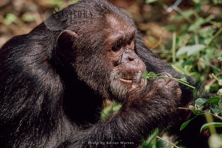 Chimpanzee (Pan Troglodytes), Eating Asystasia Gangetica, Gombe, Tanzania