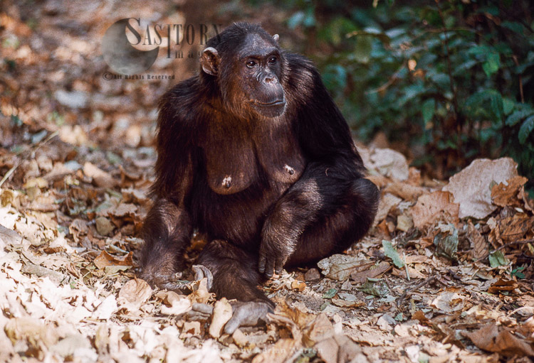 Chimpanzee (Pan Troglodytes), Fifi- Female 36 Yrs, Gombe, Tanzania