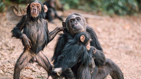 Chimpanzee Family (Pan Troglodytes) : Fifi, Faustino And Ferdinand, Gombe Tanzania