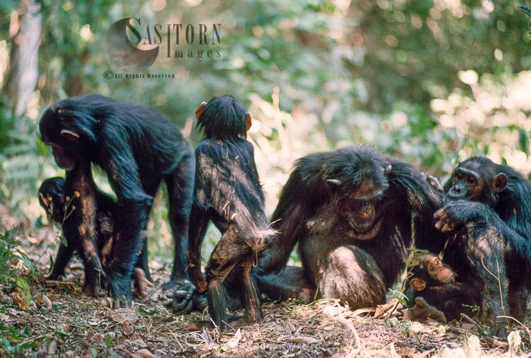 Chimpanzee (Pan Troglodytes), Family With Youngs, Gombe, Tanzania