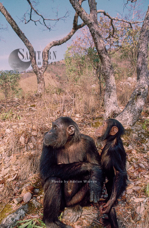 Chimpanzee (Pan Troglodytes), Fifi And Faustino, Gombe, Tanzania