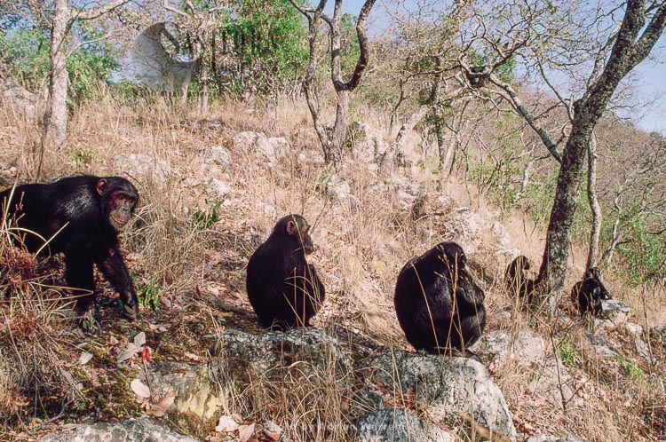 Chimpanzee (Pan Troglodytes), Group Resting, Gombe, Tanzania