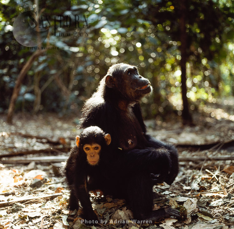 Chimpanzee (Pan Troglodytes), Mother With Baby, Gombe, Tanzania