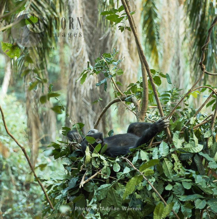 Chimpanzee (Pan Troglodytes), Male Resting In Night Nest, Gombe, Tanzania