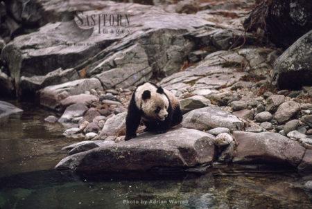 Giant Panda Juvenile Qinling Mts., Shaanxi, China, 1993