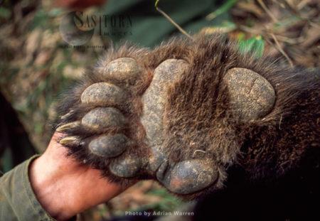 Giant Panda, Underfoot, Research, Qinling Mts. China, Shaanxi, China, 1993