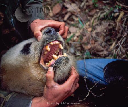 Giant Panda, Mouth Open, Research, Qinling Mts. China, Shaanxi, China, 1993