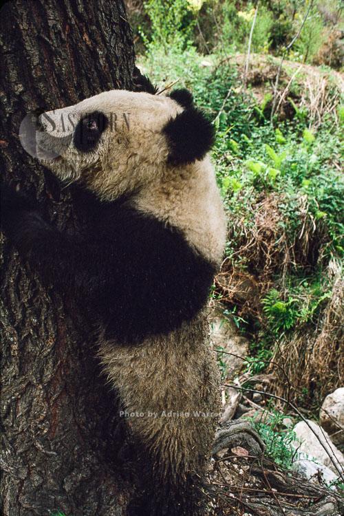 Giant Panda Juvenile (Ailuropoda Melanoleuca), Qinling Mts., Shaanxi, China