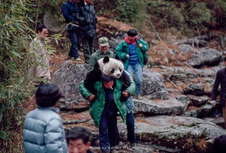 Giant Panda, Research, Qinling Mts. China, Shaanxi, China, 1993