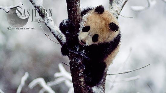 Giant Panda Juvenile On Tree In Snow, Qinling Mts., Shaanxi, China, 1993