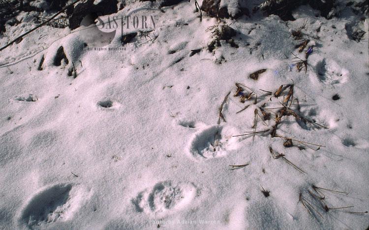 Giant Panda Footprint In Snow, Qinling Mts., Shaanxi, China, 1993