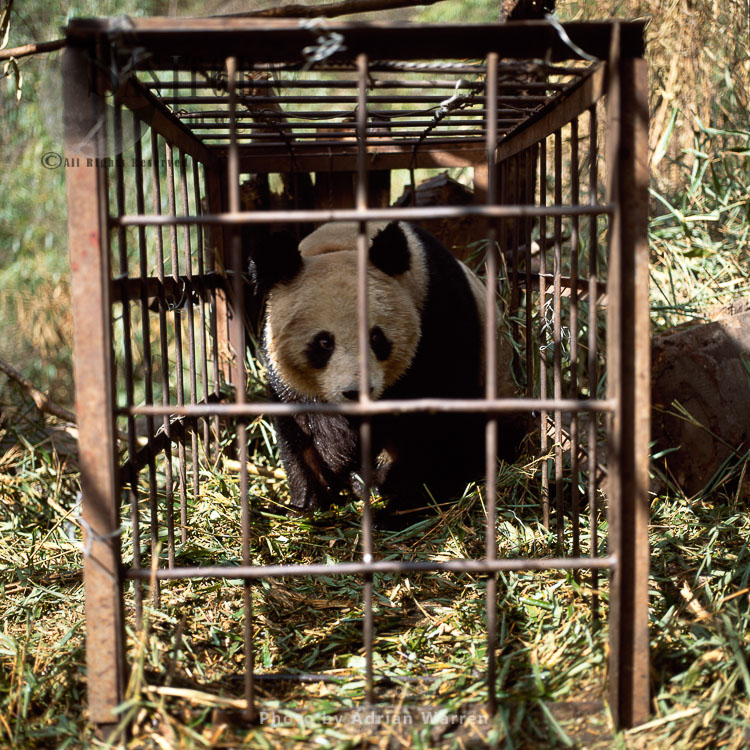 Giant Panda In Cage For Research, Qinling Mts., Shaanxi, China, 1993