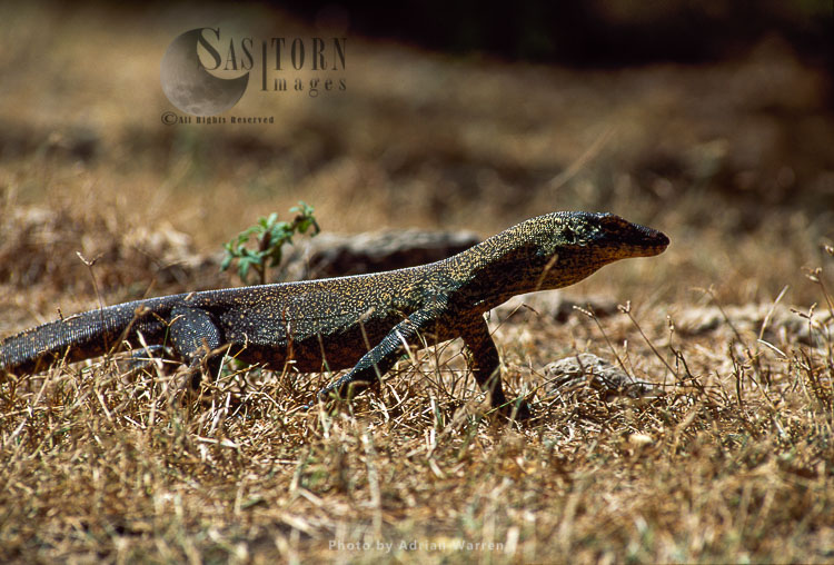 Komodo Dragon (Varanus Komodoensis), Komodo Island, Indonesia