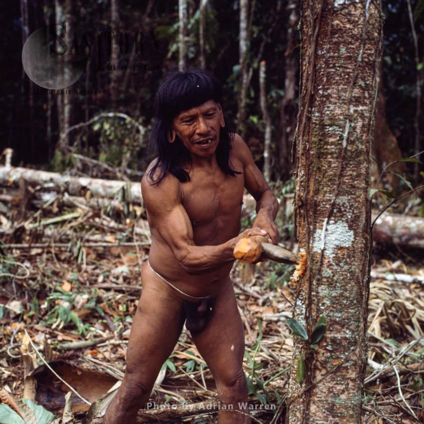 Waorani Indians : Caempaede cutting tree with Stone Axe, Rio Cononaco, Ecuador, 1983