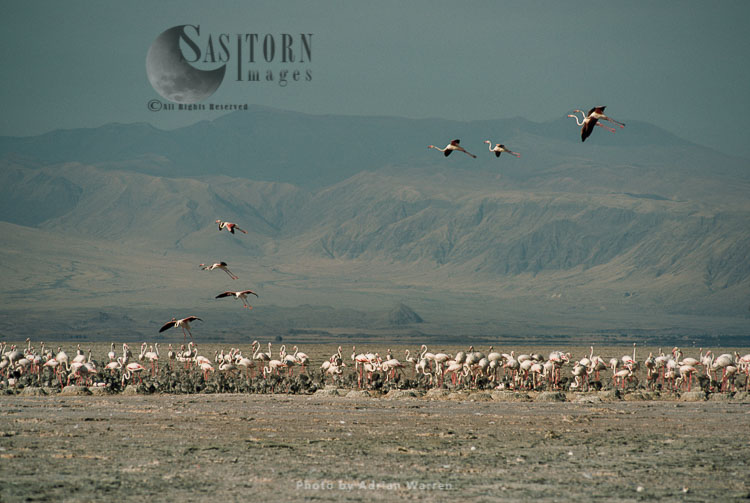Lesser Flamingo (Phoeniconaias Minor) Nesting Colony, Lake Natron, African Rift Valley, Tanzania