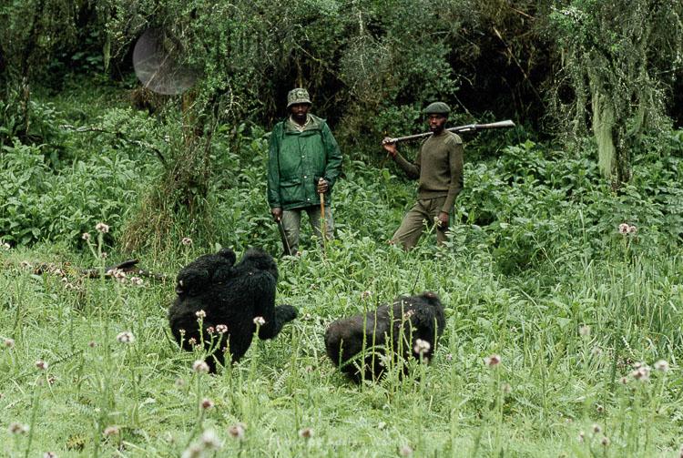 Mountain Gorilla (Gorilla g. beringei), group with Anti-Poaching Rangers,, Virunga Volcanoes, Rwanda