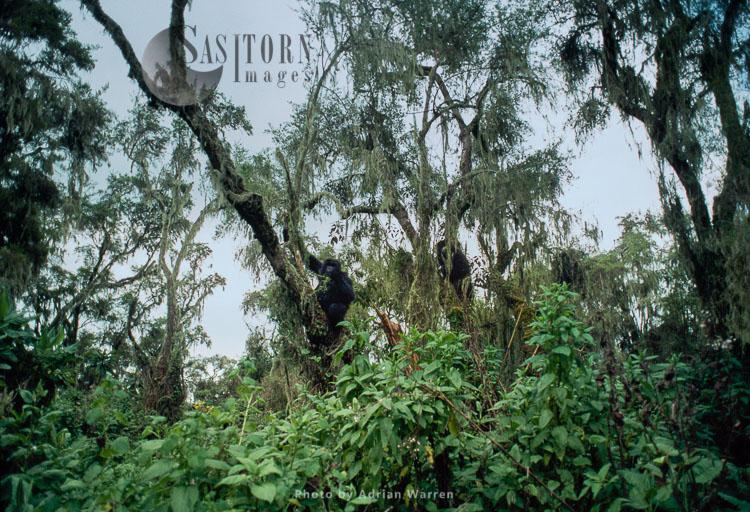 Mountain Gorillas   (Gorilla g. beringei), feeding on tree, Virunga Volcanoes, Rwanda
