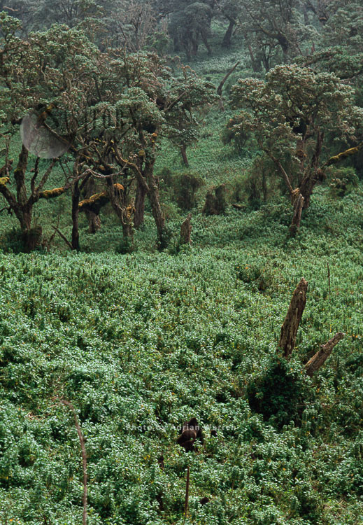 Mountain Gorilla (Gorilla g. beringei), in nettle, Virunga Volcanoes, Rwanda