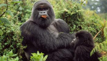 Mountain Gorilla, Rwanda (274 Videos)