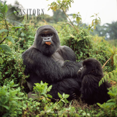 Silverback And A Young Mountain Gorillas (Gorilla G. Beringei), Virunga Volcanoes, Rwanda