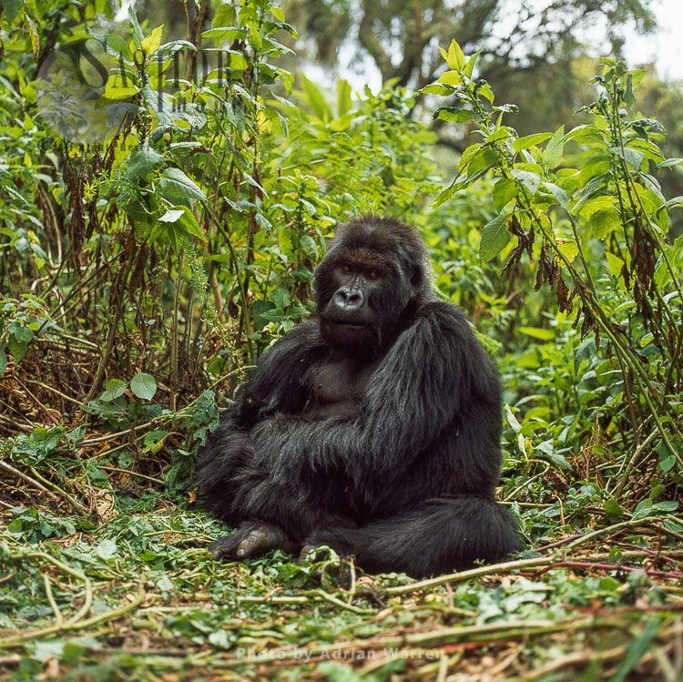 Ape: Mountain Gorilla (Gorilla G. Beringei) – Blackback Male, Virunga Volcanoes