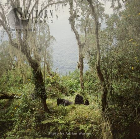 Ape: Mountain Gorillas - Shinda (Silverback Male) And Family Group Resting, Virunga Volcanoes, Rwanda