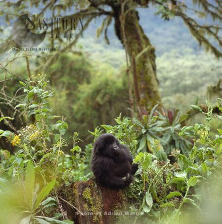 Mountain Gorilla (Gorilla G. Beringei), Juvenile (young) Virunga Volcanoes, Rwanda