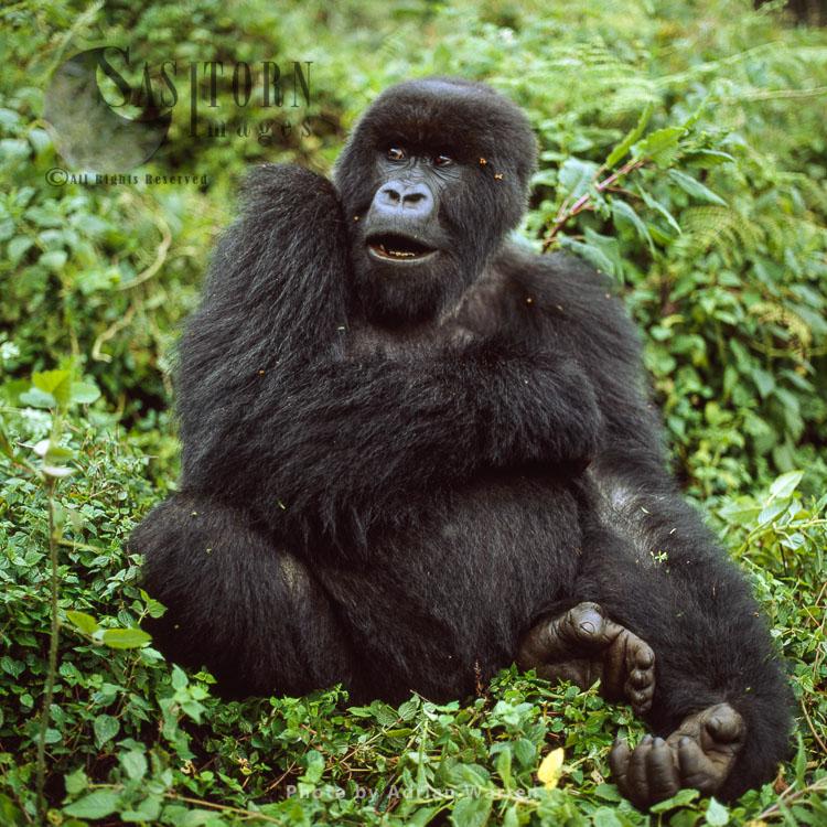 Mountain Gorilla (Gorilla G. Beringei),