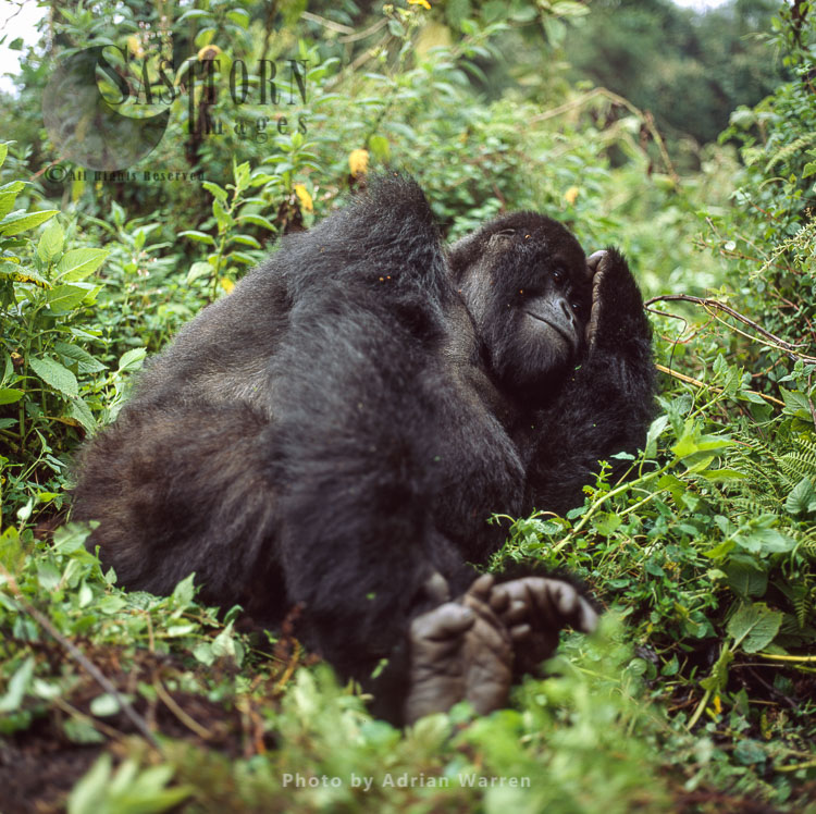 Mountain Gorilla (Gorilla G. Beringei), Female Resting, Virunga Volcanoes, Rwanda