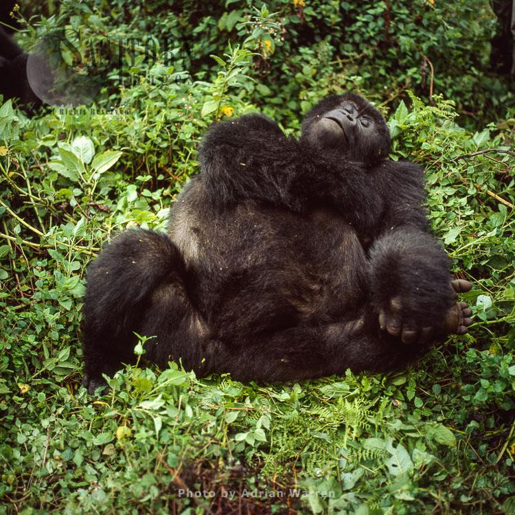 Mountain Gorilla (Gorilla G. Beringei), Resting, Virunga Volcanoes