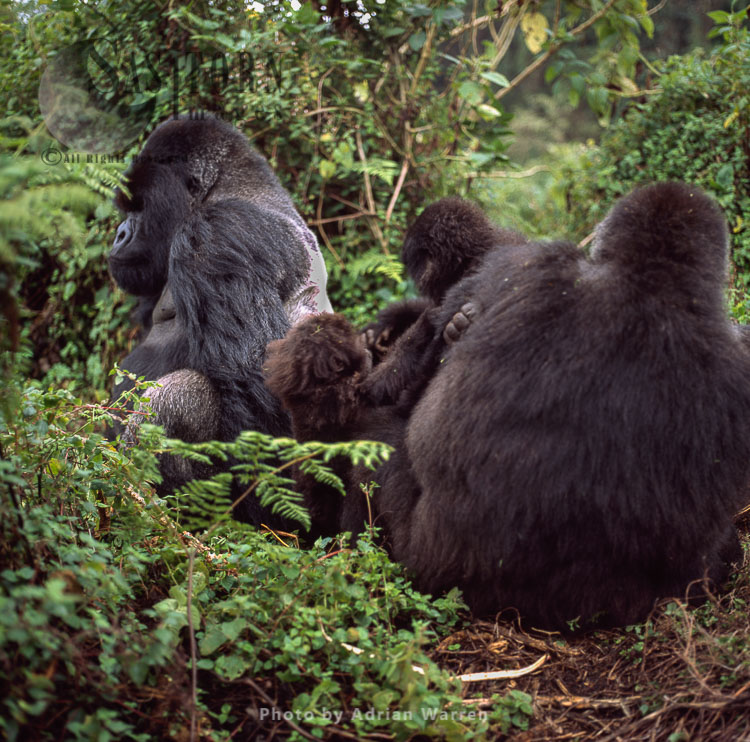 Mountain Gorillas, Group Resting With Silverback (Gorilla G. Beringei), Rwanda