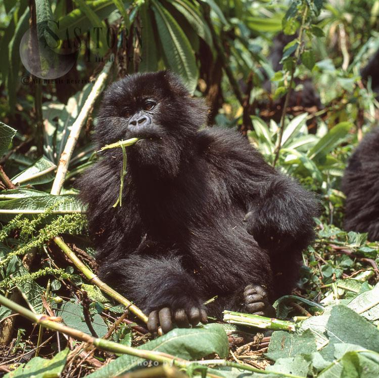 Mountain Gorilla (Gorilla G. Beringei), Juvenile (young) Feeding, Virunga Volcanoes