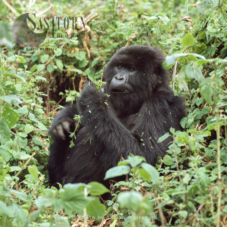 Mountain Gorilla (Gorilla G. Beringei), Feeding, Virunga Volcanoes, Rwanda