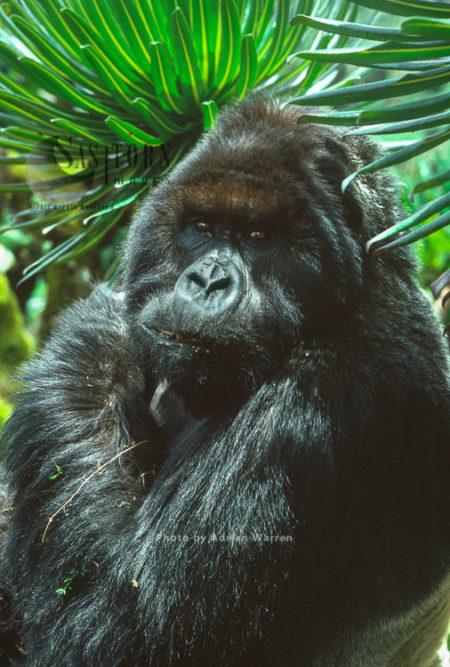 Ape: Mountain Gorilla (Gorilla G. Beringei) - 'Peanuts' Silverback Male, Virunga Volcanoes, Rwanda, Africa