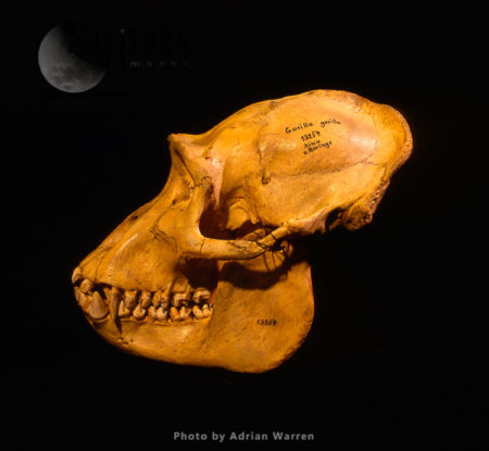 Skull Of First Mountain Gorilla Discovered By Captain Robert Von Beringe, Holotype 1902, Berlin