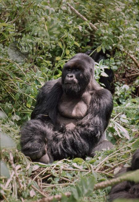 Ape: Mountain Gorilla (Gorilla G. Beringei) - 'Imbaraga' Silverback Male, Virunga Volcanoes, Rwanda, Africa
