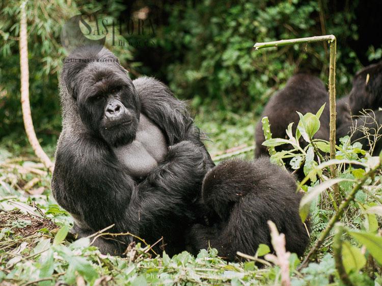 Ape: Mountain Gorilla (Gorilla G. Beringei) – 'Imbaraga' Silverback Male, Virunga Volcanoes, Rwanda, Africa