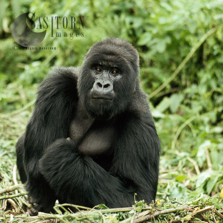 Ape: Mountain Gorilla (Gorilla G. Beringei) – Silverback Male, Virunga Volcanoes, Rwanda, Africa