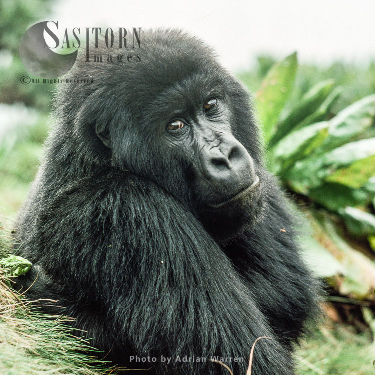 Ape: Mountain Gorilla (Gorilla G. Beringei) – Blackback Male, Virunga Volcanoes, Rwanda