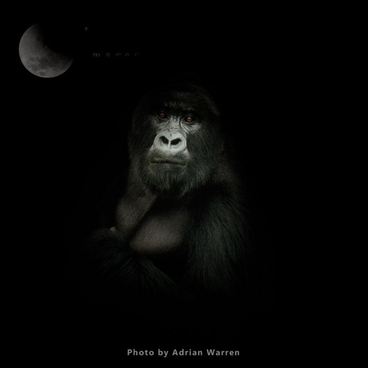 Ape: Mountain Gorilla (Gorilla g. beringei) - Silverback male, Virunga Volcanoes, Rwanda, Africa