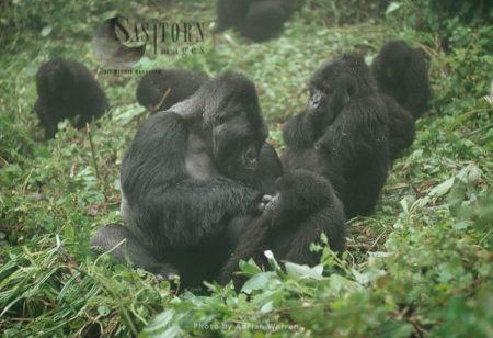 Mountain Gorillas, Group With IMBARAGA' Silverback, Grooming Juvenile , Virunga Volcanoes, Rwanda