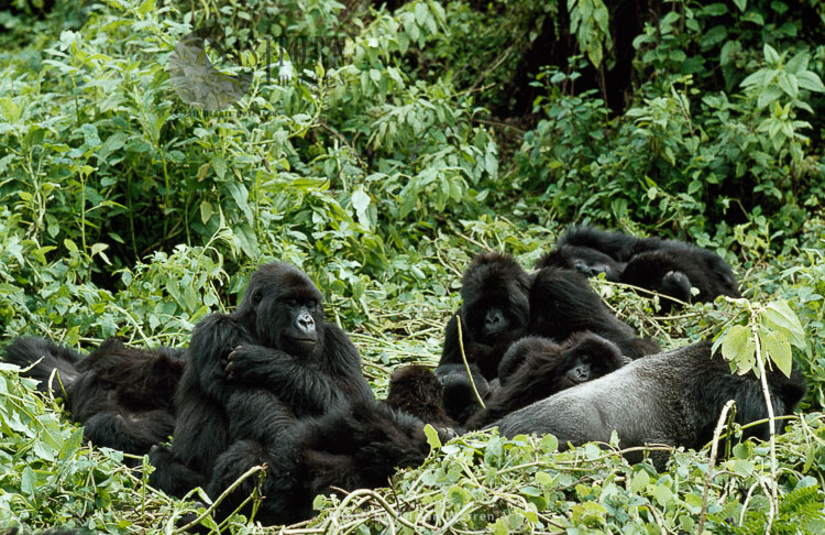 Mountain Gorillas,  part of Susa group with IMBARAGA Silverback male, Virunga Volcanoes, Rwanda