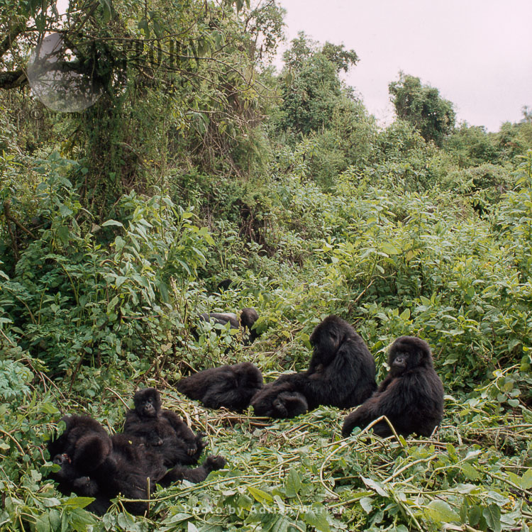 Mountain Gorilla (Gorilla g. beringei), part of Susa group with Silverback, Virunga Volcanoes, Rwanda