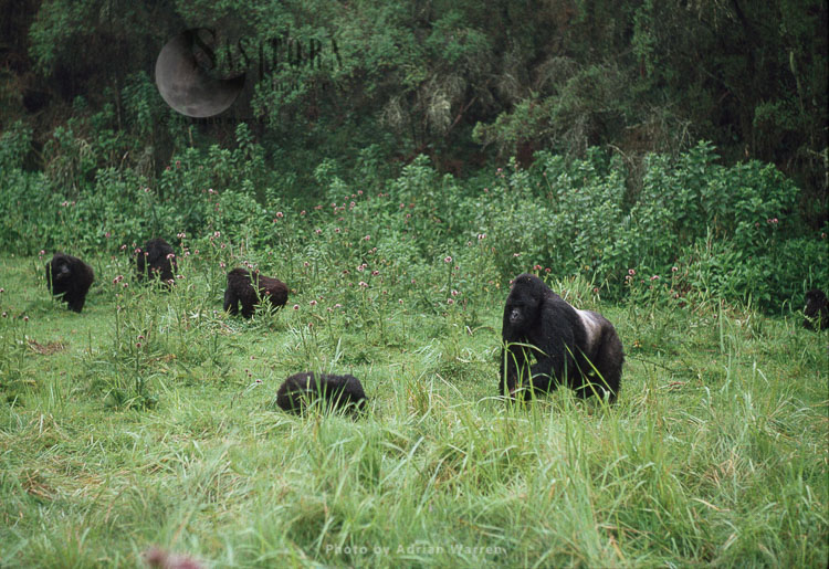 Mountain Gorilla, MURITHI Siverback male group 13, Virunga Volcanoes, Rwanda