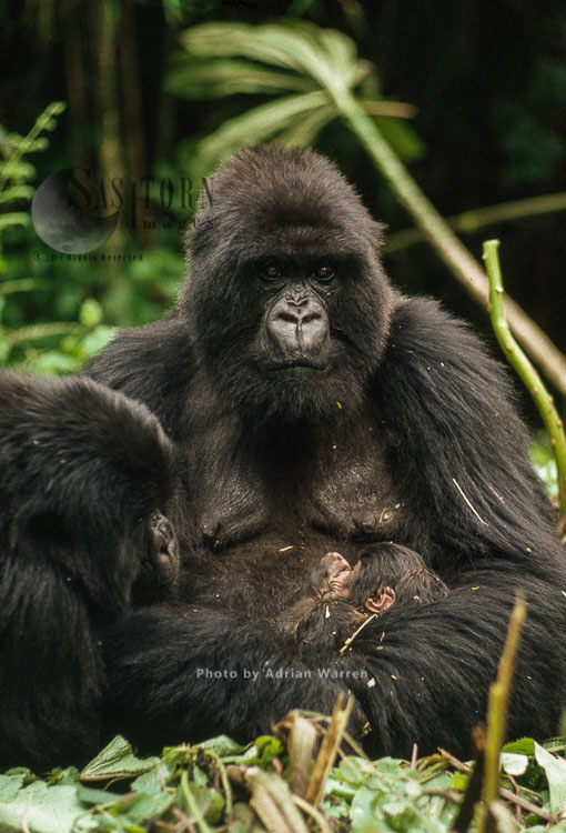 Mountain Gorilla (Gorilla G. Beringei), 'Amareba' Mother With Newborn Baby, Virunga Volcanoes, Rwanda