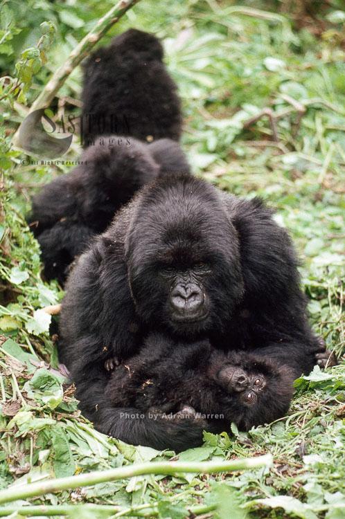 Mountain Gorillas  (Gorilla g. beringei), 'Muraha' and infant, Virunga Volcanoes, Rwanda