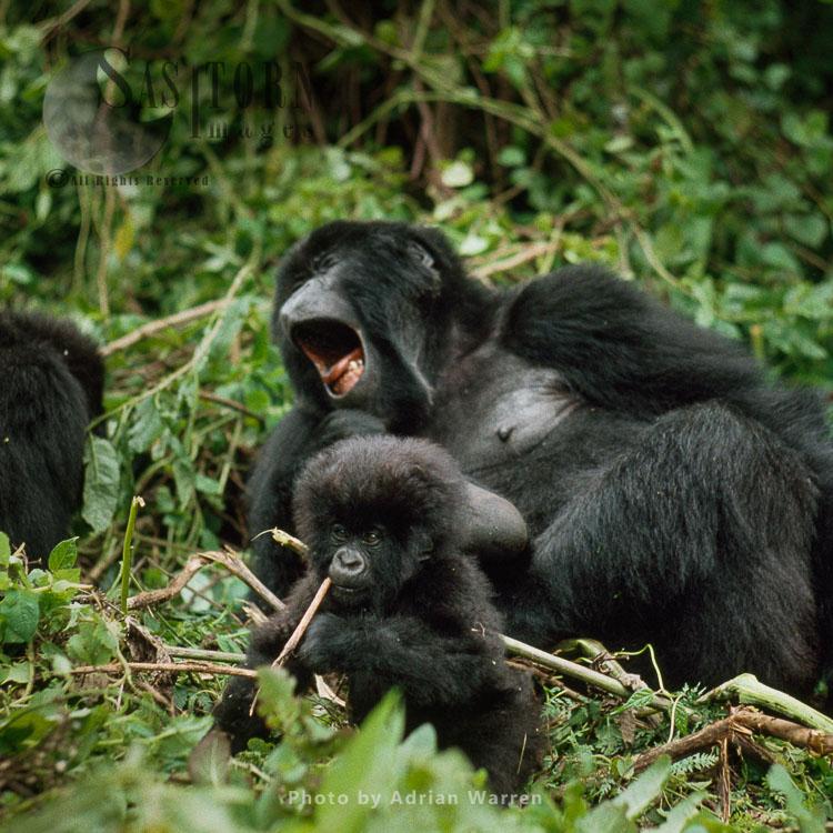 Mountain Gorilla (Gorilla g. beringei), female yawning, infant feeding, Virunga Volcanoes, Rwanda