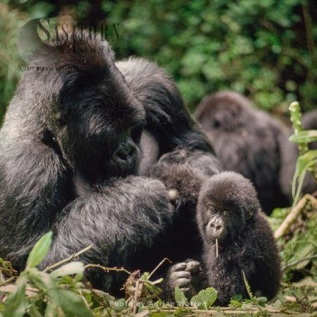 Mountain Gorilla (Gorilla G. Beringei), Silverback Male Watching Baby Feeding, Virunga Volcanoes, Rwanda